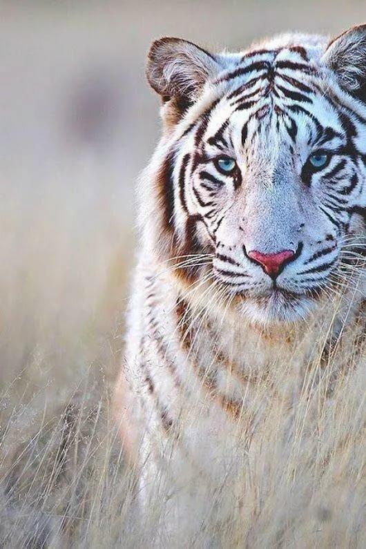 Поздравления, картинки белый тигренок с голубыми глазами