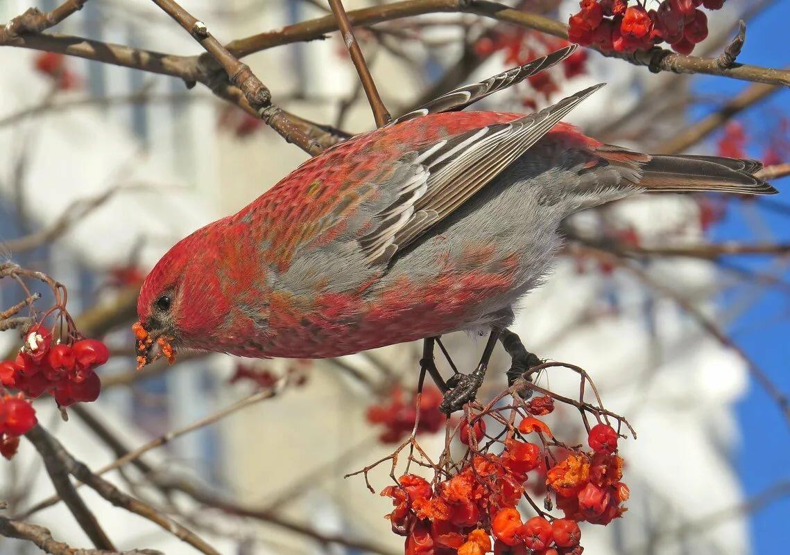 птички с рябиной картинки недавно стало известно