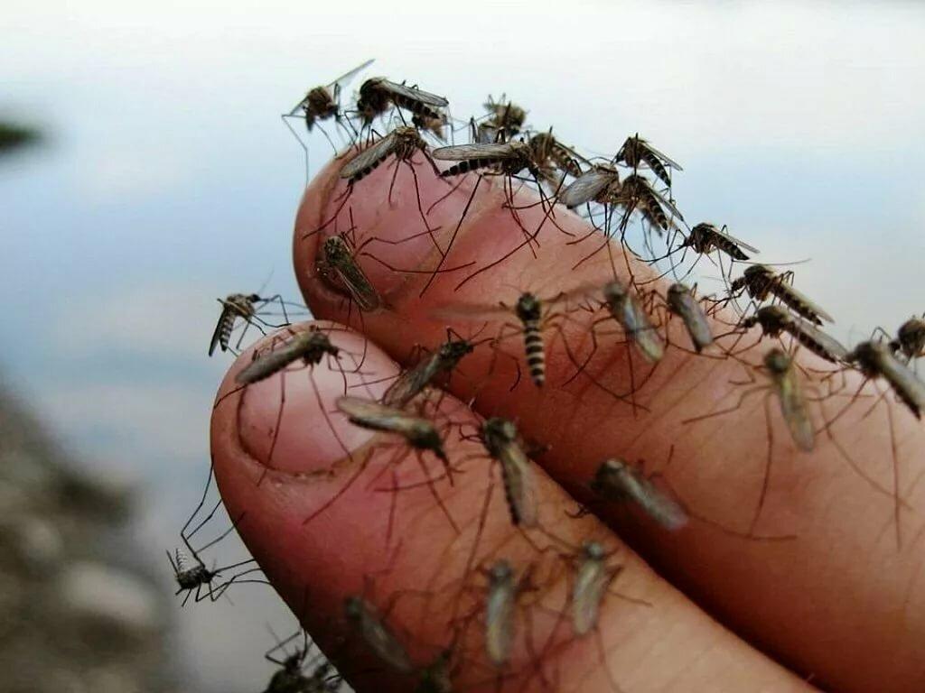Комары картинки и видео, своими