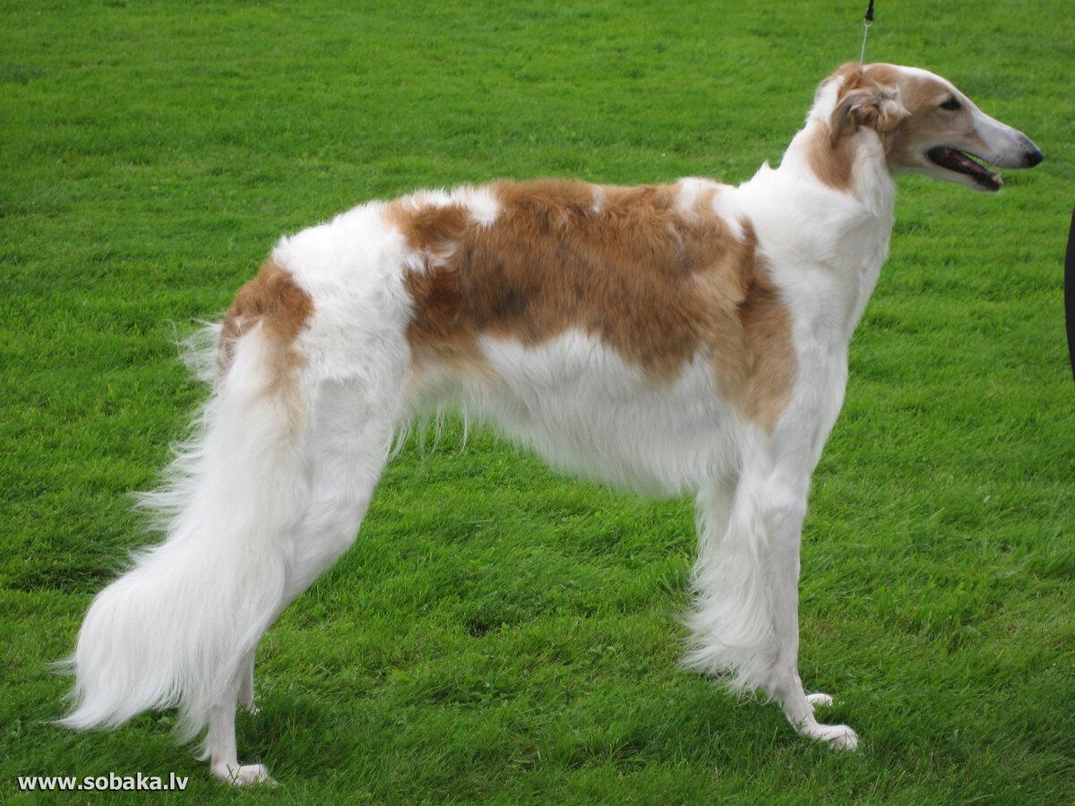 борзая собака фото русская полосатая