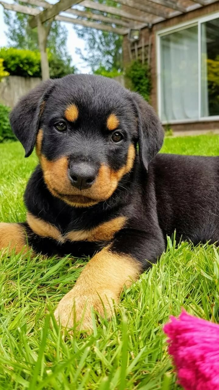 rottweiler dogs for sale - 720×1280