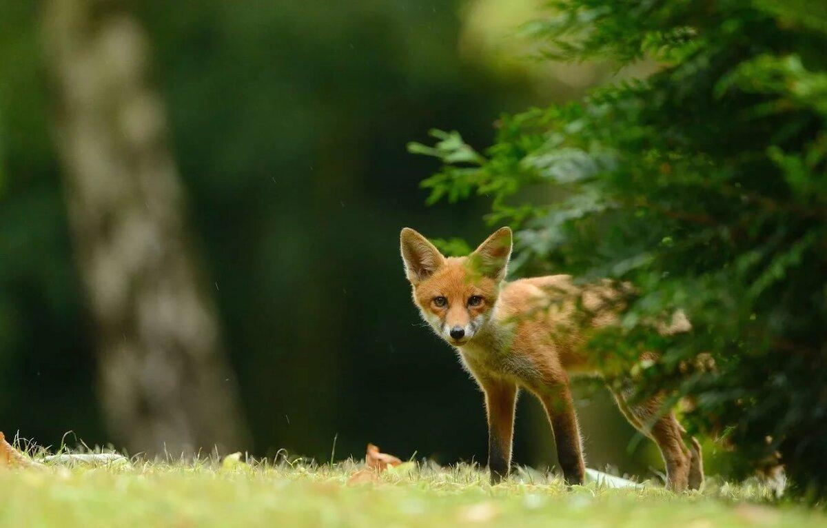 картинки лисы в лесу летом смуглое лицо