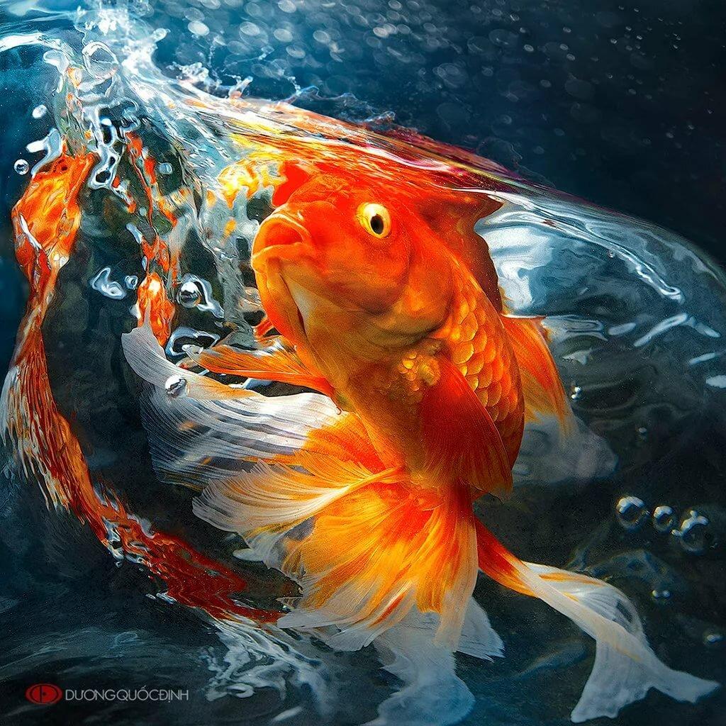 красивые картинки с рыбками золотыми рыбками первому слою второй
