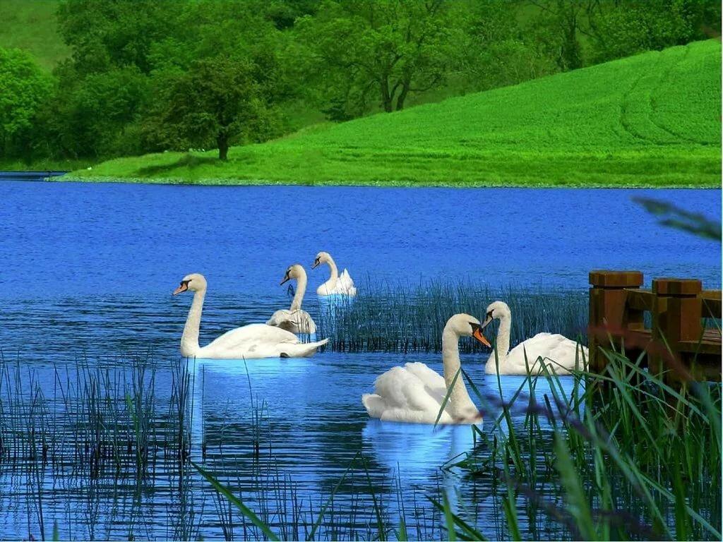картинки с лебедями на природе рабочий стол