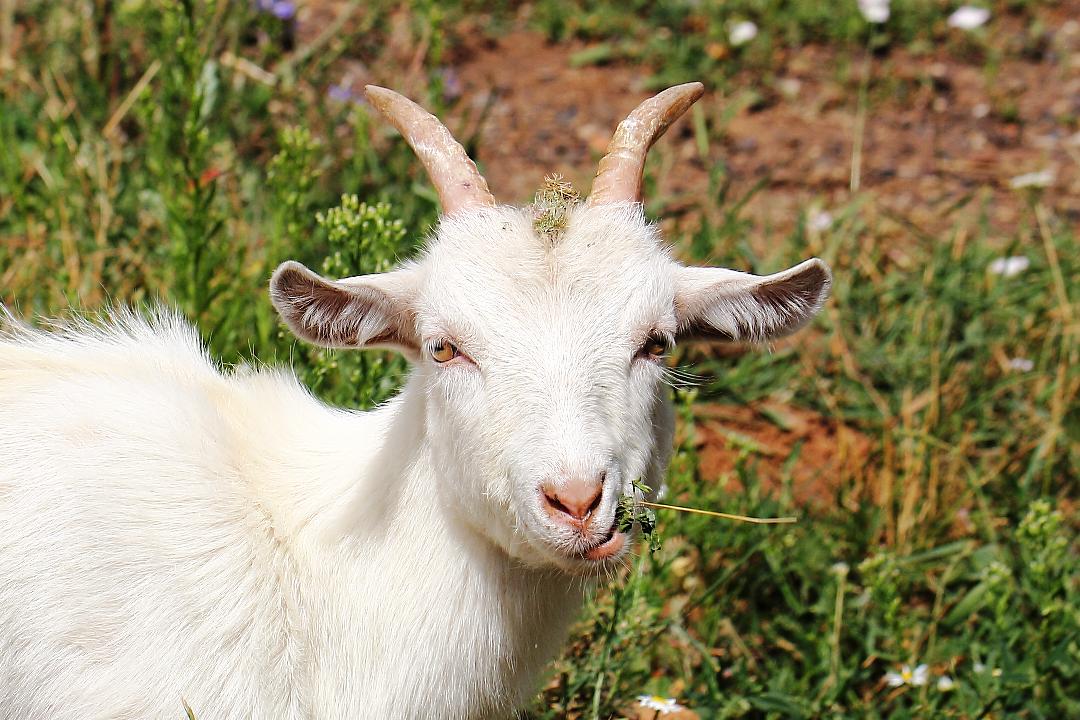 Картинки козы картинки козы