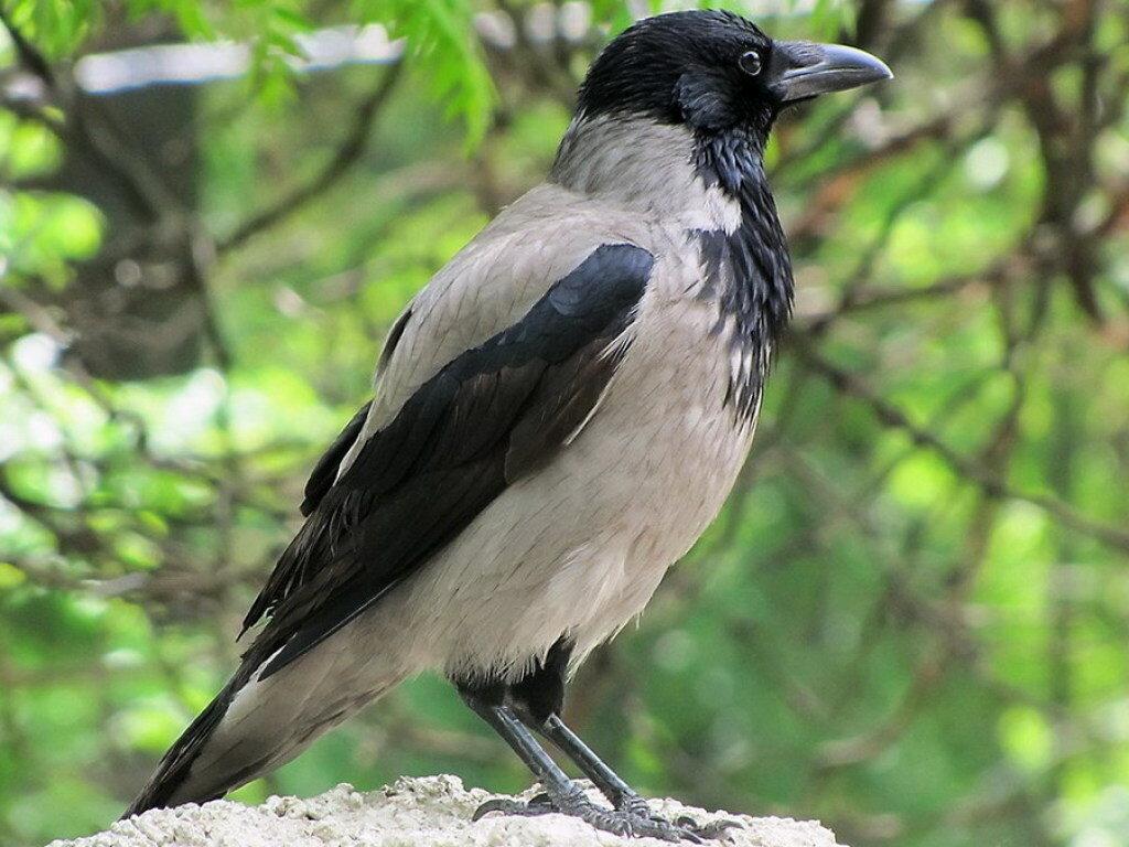 Картинка ворона, смешные репортажи