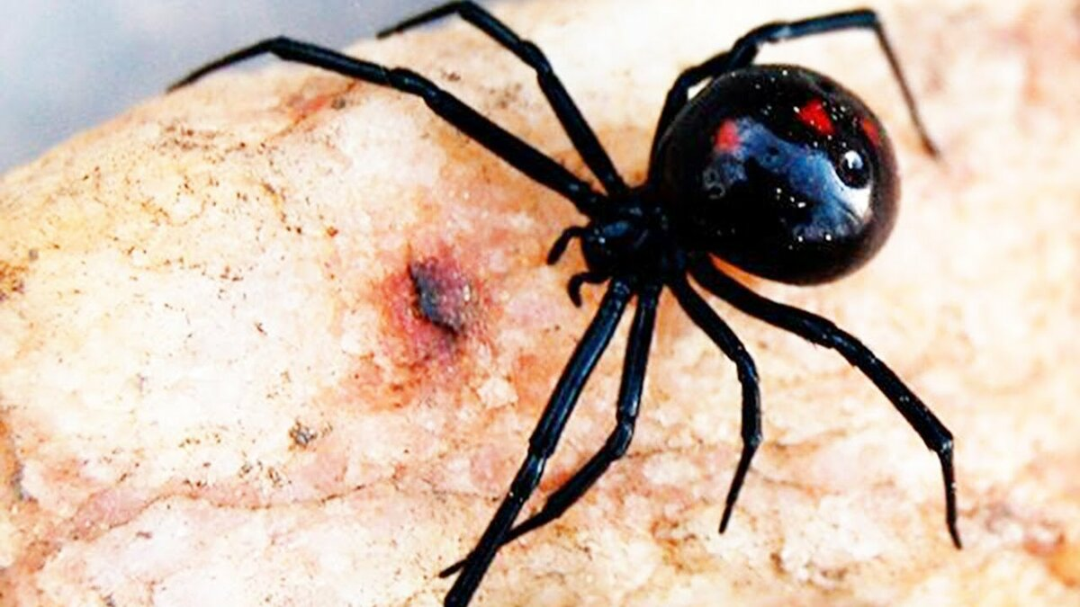 картинки укус самого ядовитого паука место
