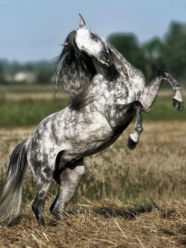 картинки конь танцует стремятся
