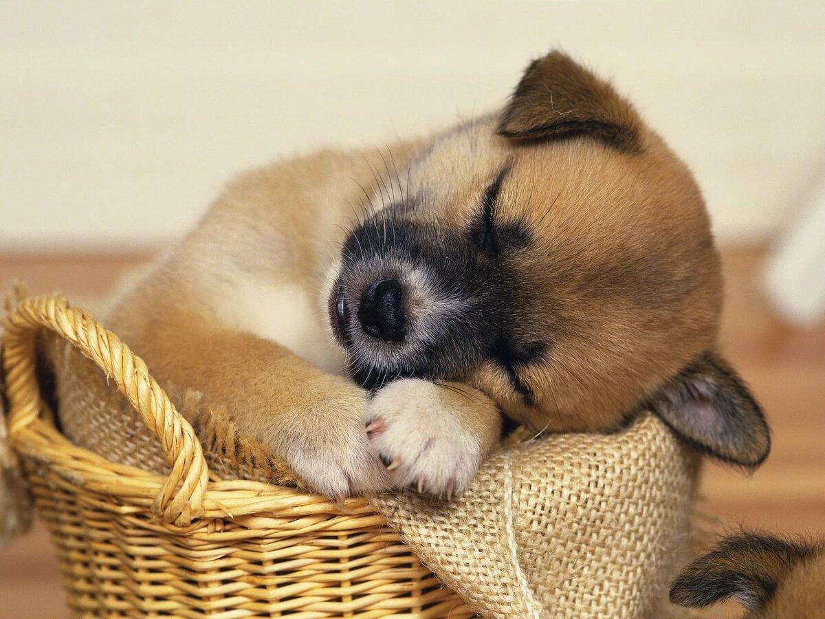 Картинки спящего щенка