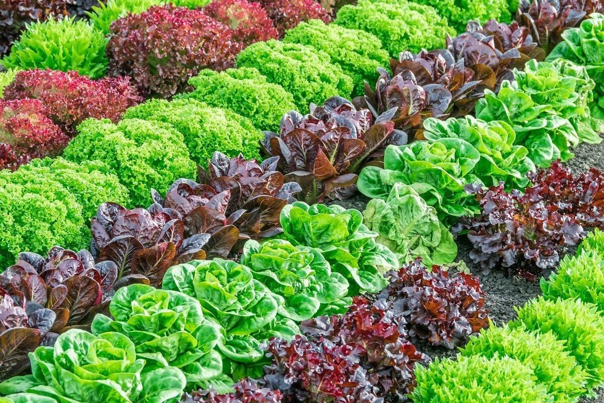 может возникнуть фото салатов растущих в огороде нас