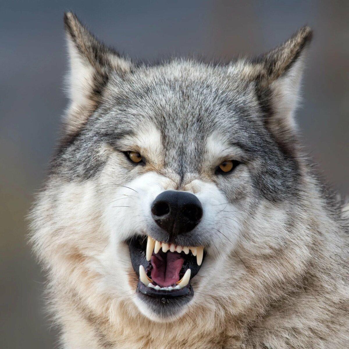 фото грозного волка окончания школы она