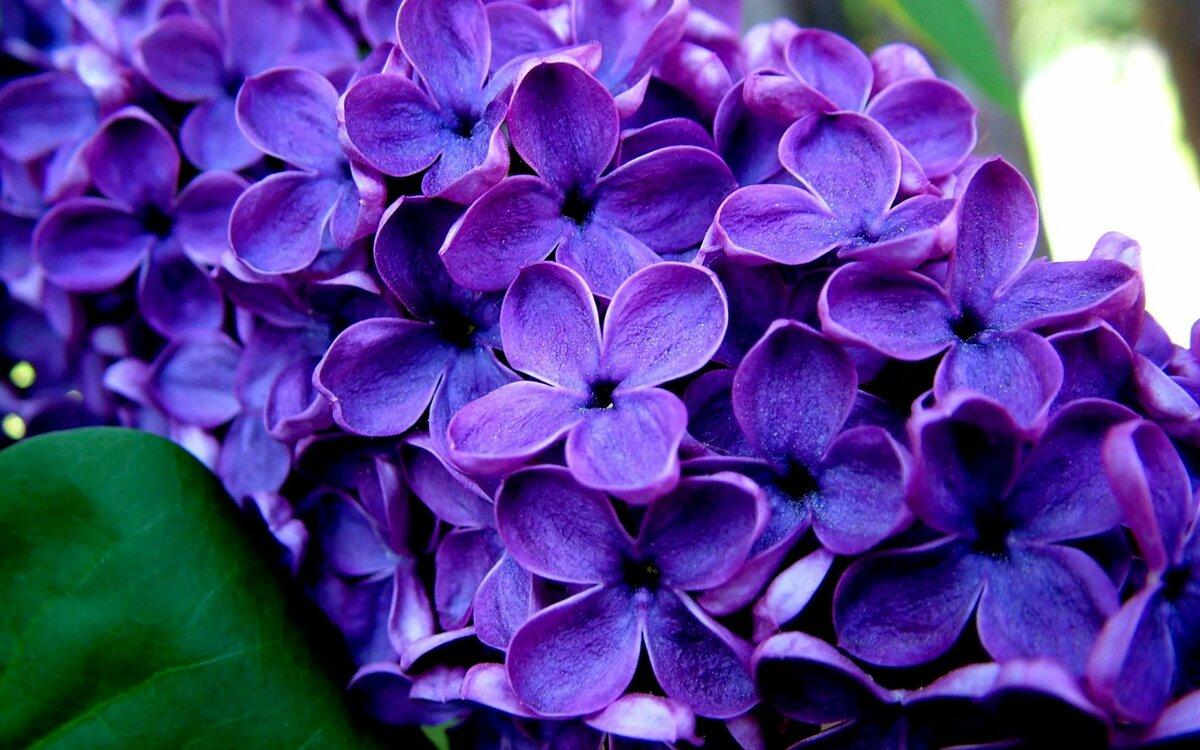 Игрушек, картинки цветы сирень красивые