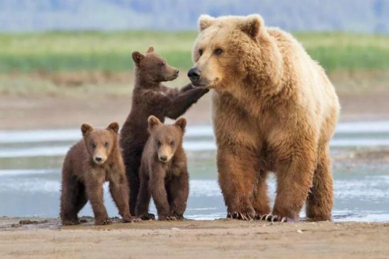 Белые и бурые медведи картинки