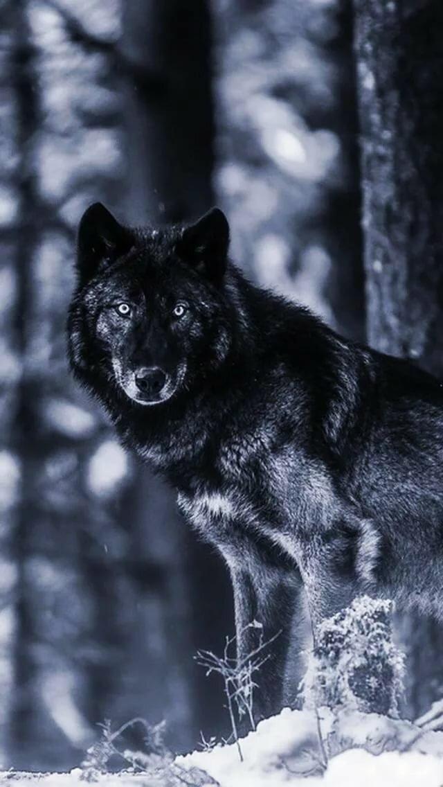 Картинки крылатых волков