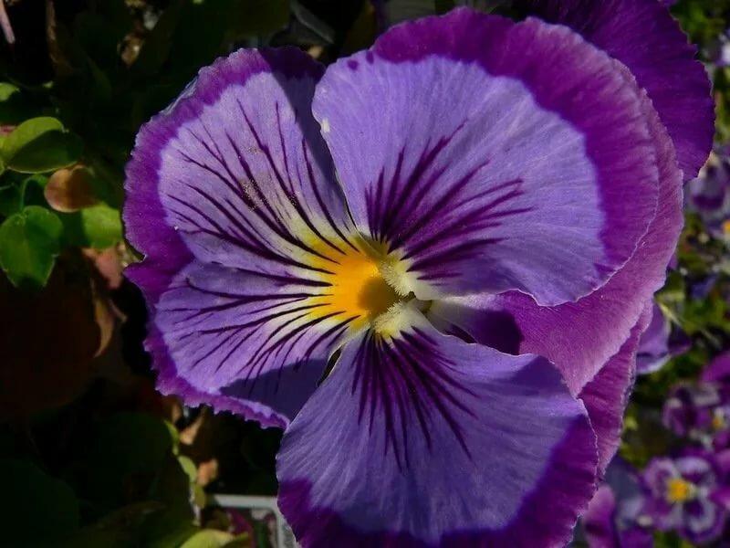 фото цветок игузмис подробнее рассказать