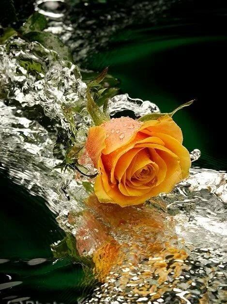 Гифы красивые розы у воды, квиллинга
