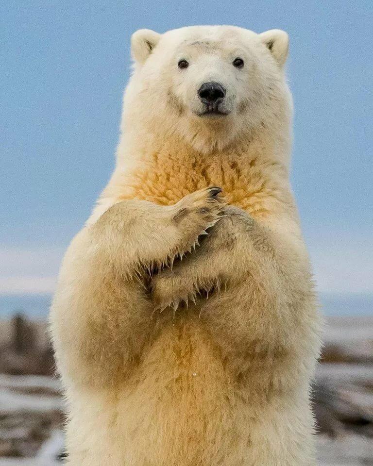 фоне таких смешная картинка белого медведя необходимости