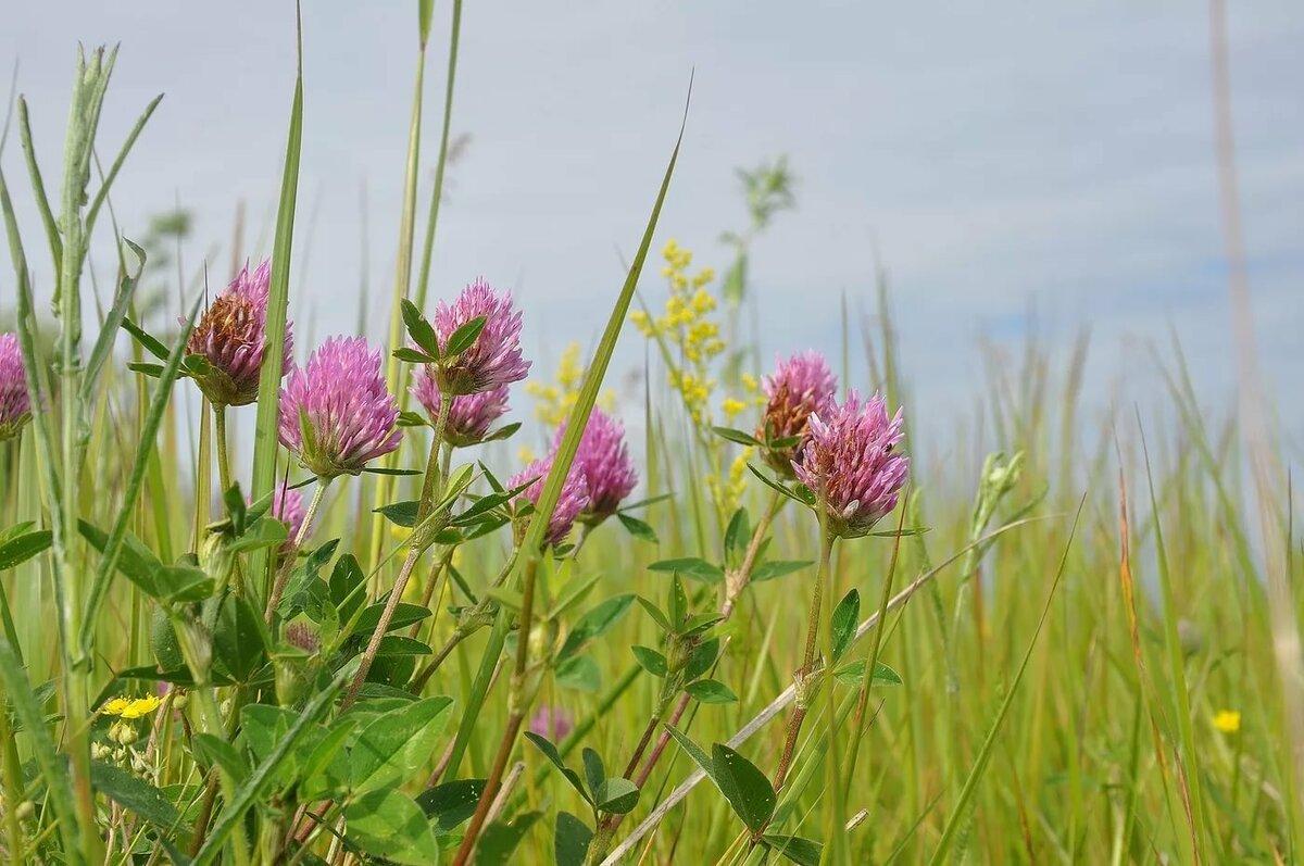 полевые цветы омской области фото и названия изготовлении каркаса участвуют