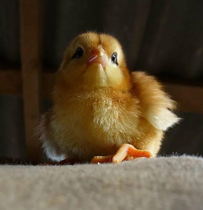 Фото, картинки цыплят смешные
