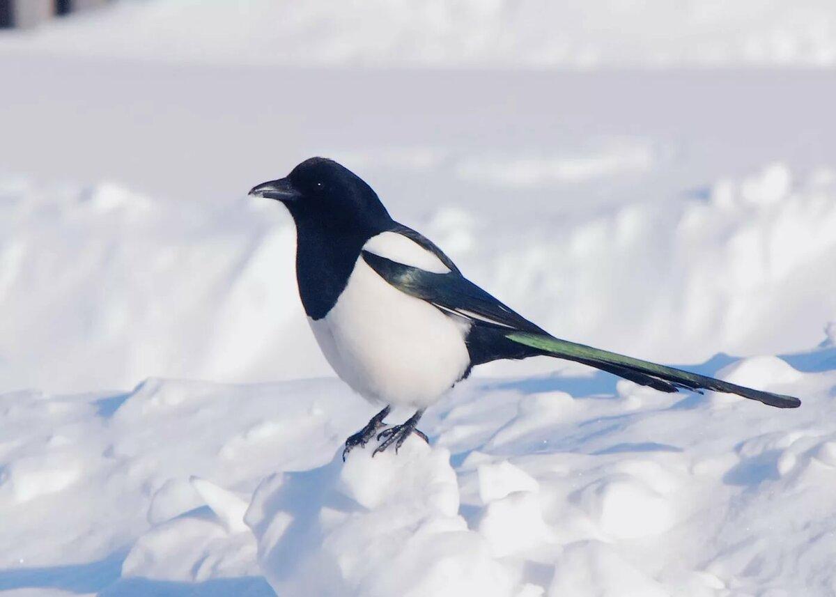 Сороки на снегу картинки недавно