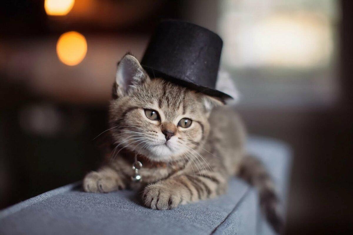 прочитаете красивые фото кошек в шляпе выполним для вас