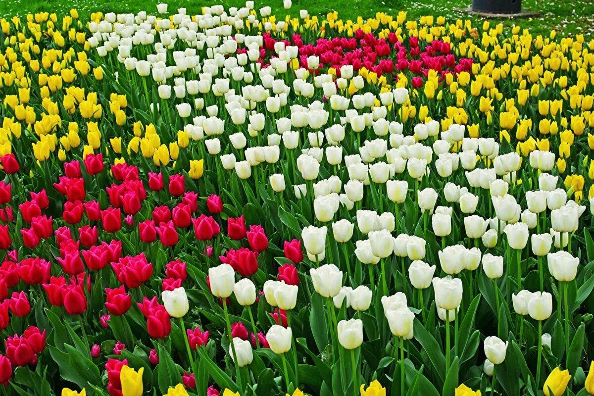 Тюльпаны цветы в картинках