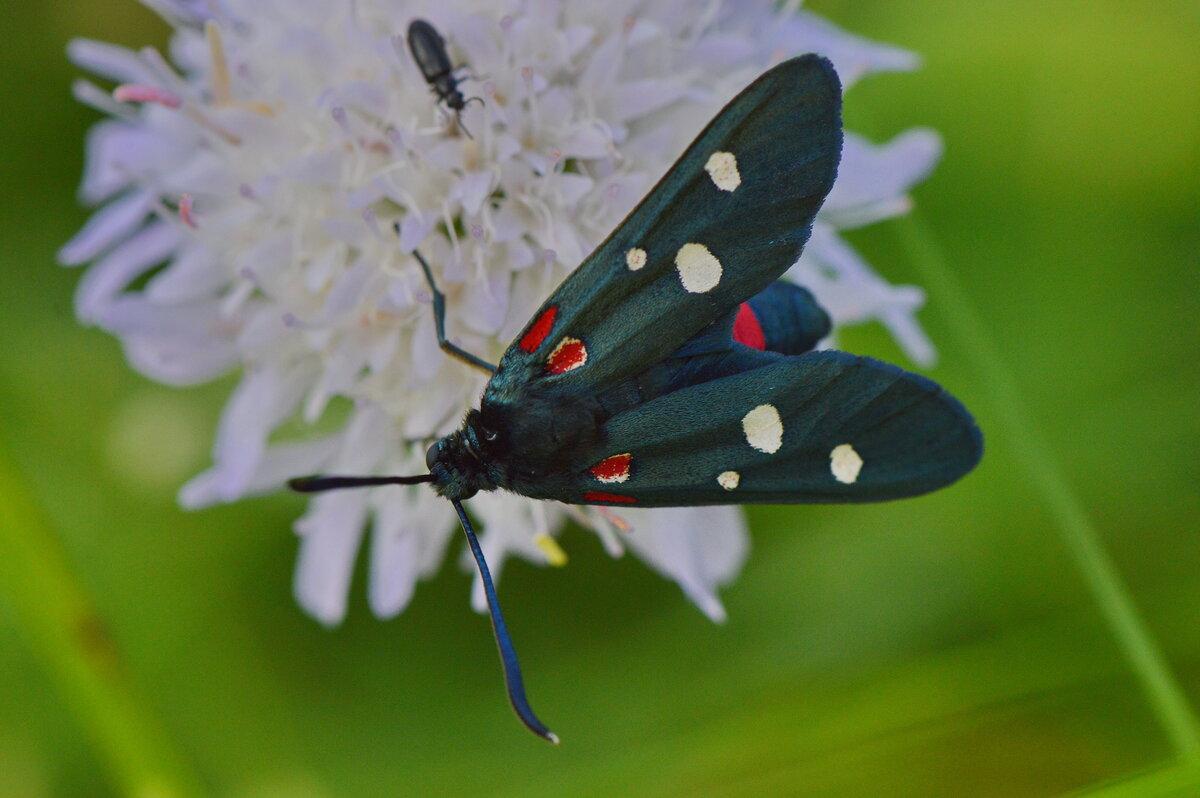 Пестрянка бабочка в картинках