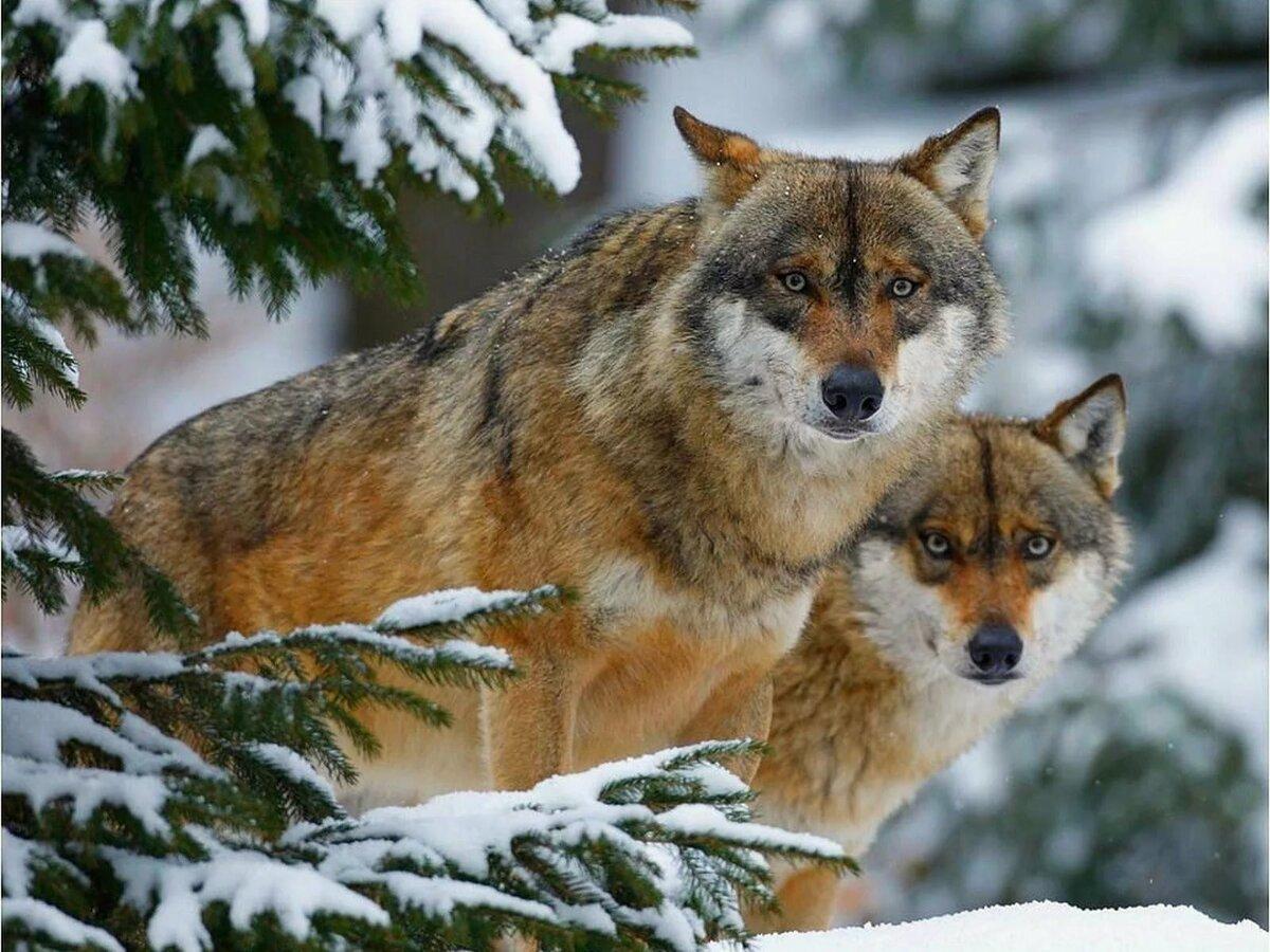 Живые картинки животных волков