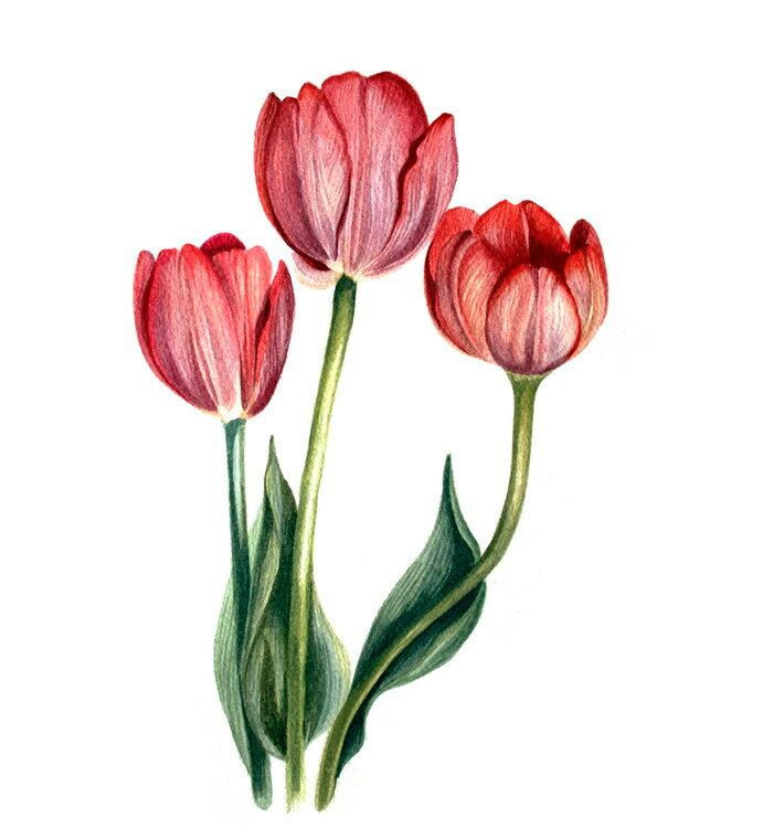 утра картинки как рисовать тюльпан мак землянику новые