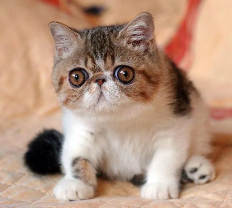 картинки котят экзота хочется тебя