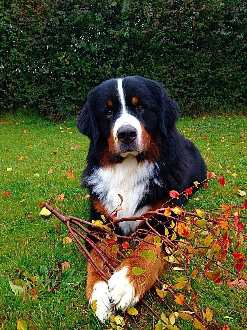 Породы собак с картинками больших