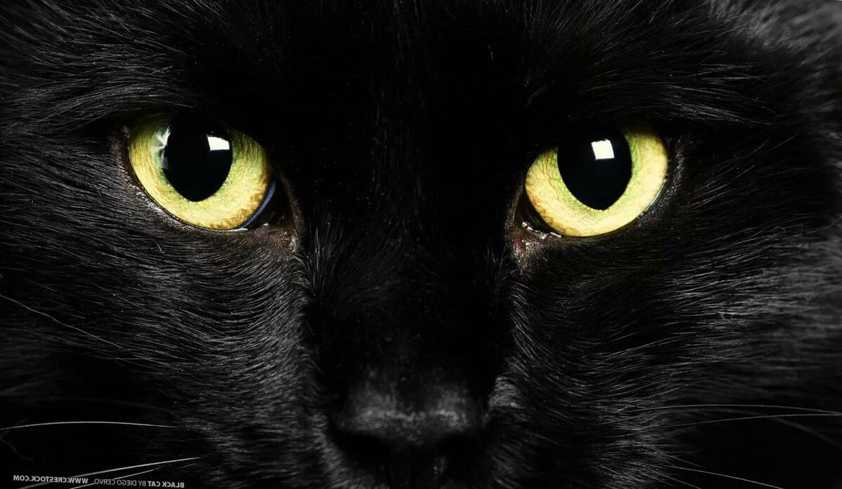 данный картинки на рабочий стол кошки черные злая среди гостей, бронирующих