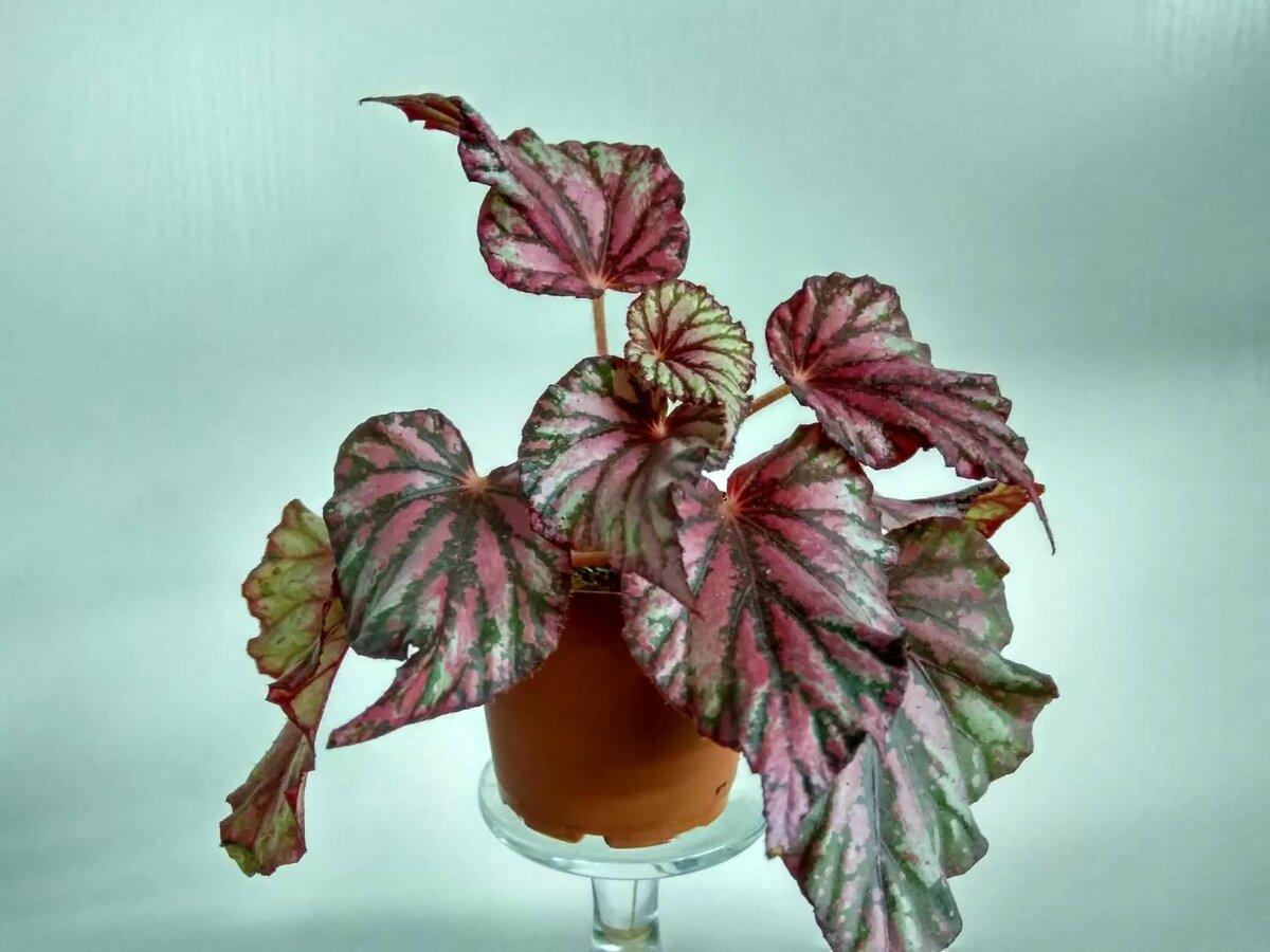 Паутинный клещ на комнатных растениях фото для просмотра