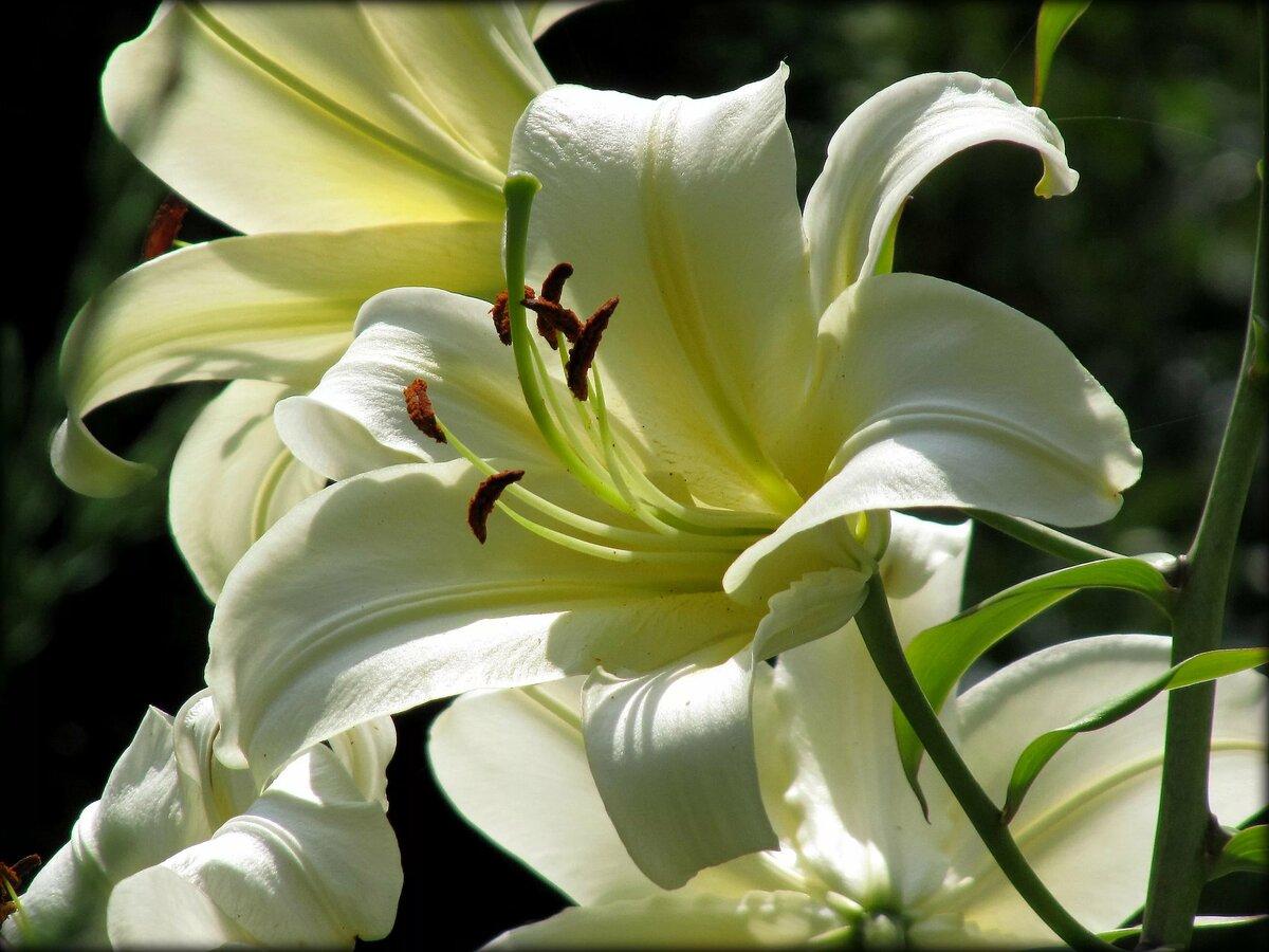 этом случае красивые картинки с лилиями разные как