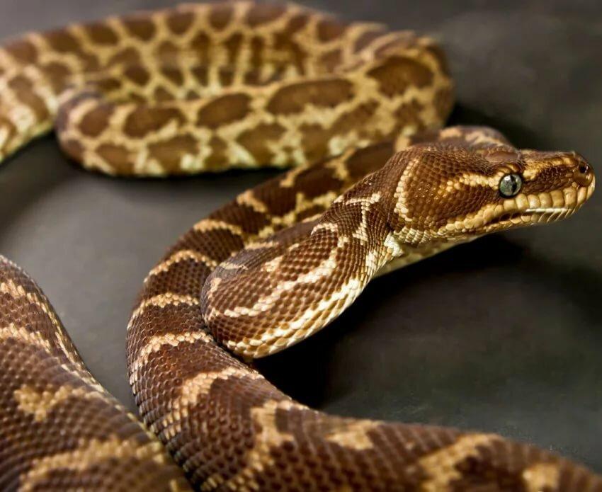 Картинки с ядовитыми змеями