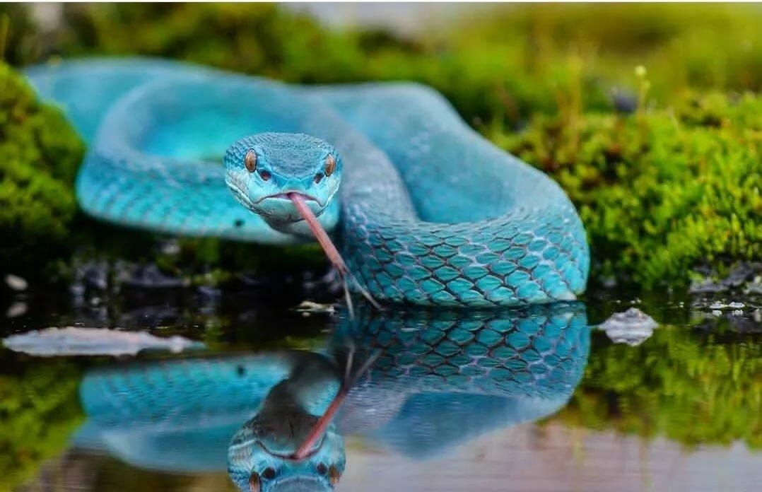 пуля синяя змея картинка чем через