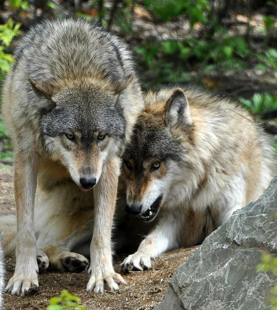 Реальные фото волков и лис