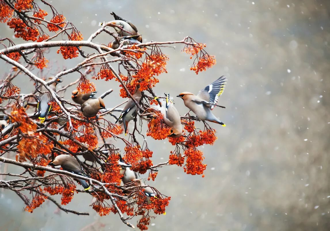 легко птички с рябиной картинки тоже есть софт