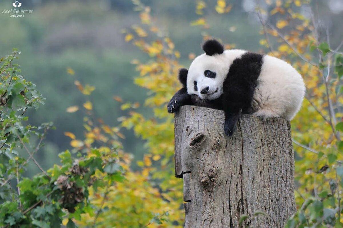 Смешная картинка панда на ручках, для открыток