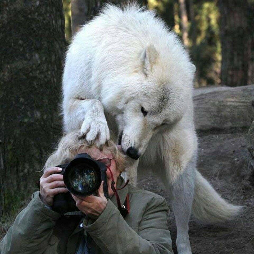 Волчицы смешные картинки, картинки