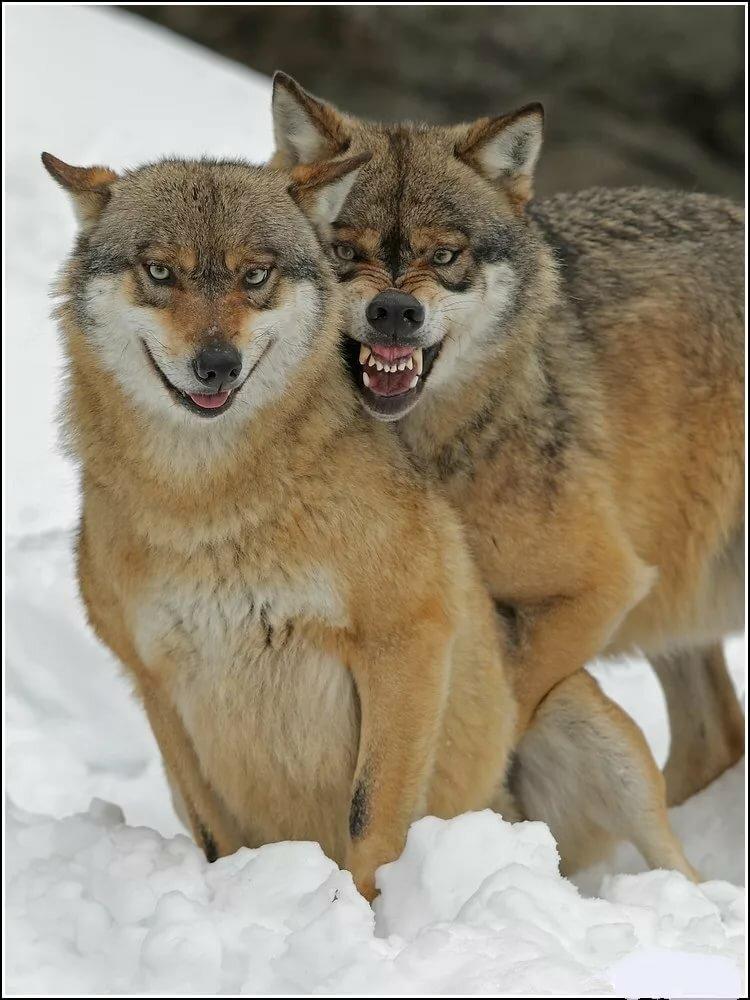 Картинки с прикольными волками, днем