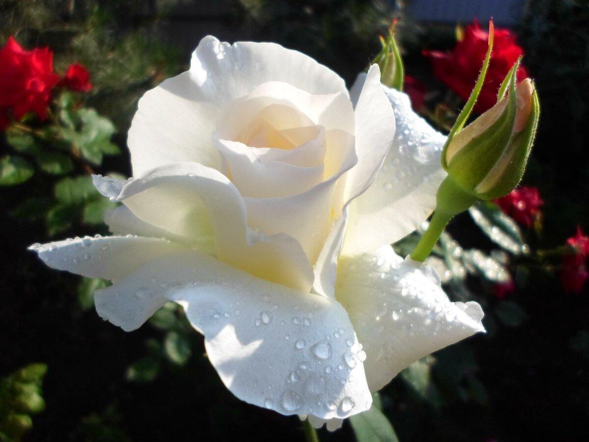 серебристые розы фото американским сайтам