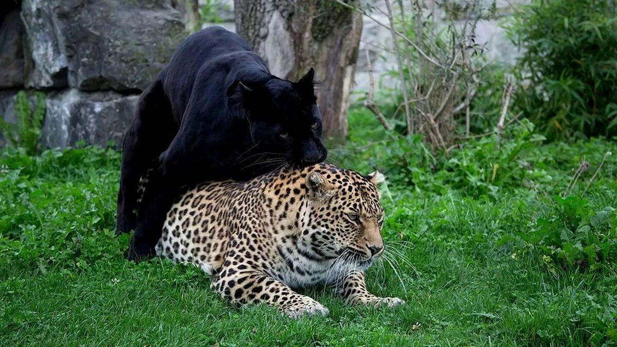 картинки с леопардами пантерами львами пумами