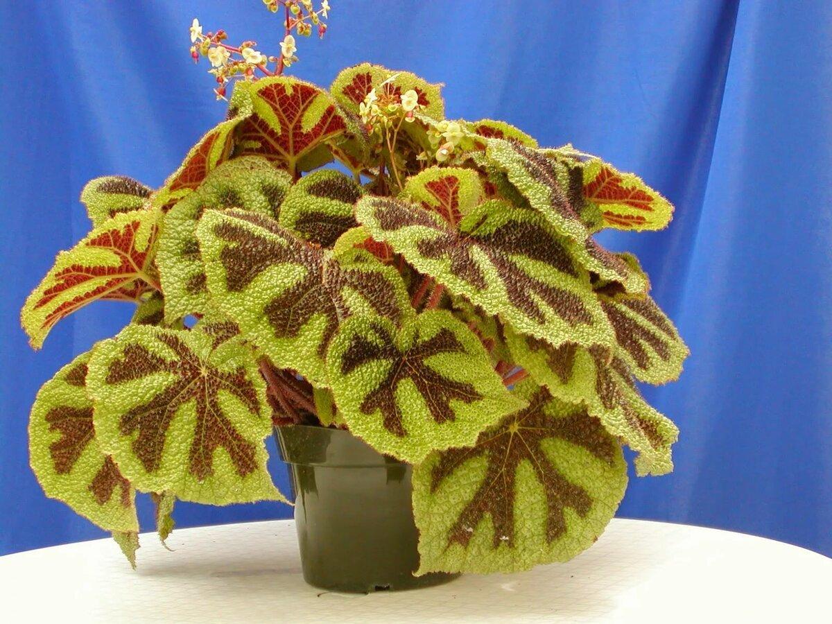 Декоративнолистные комнатные растения названия и фото