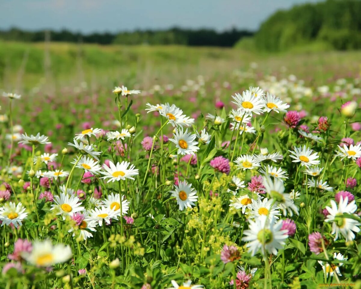 Картинки цветы полевые и луговые