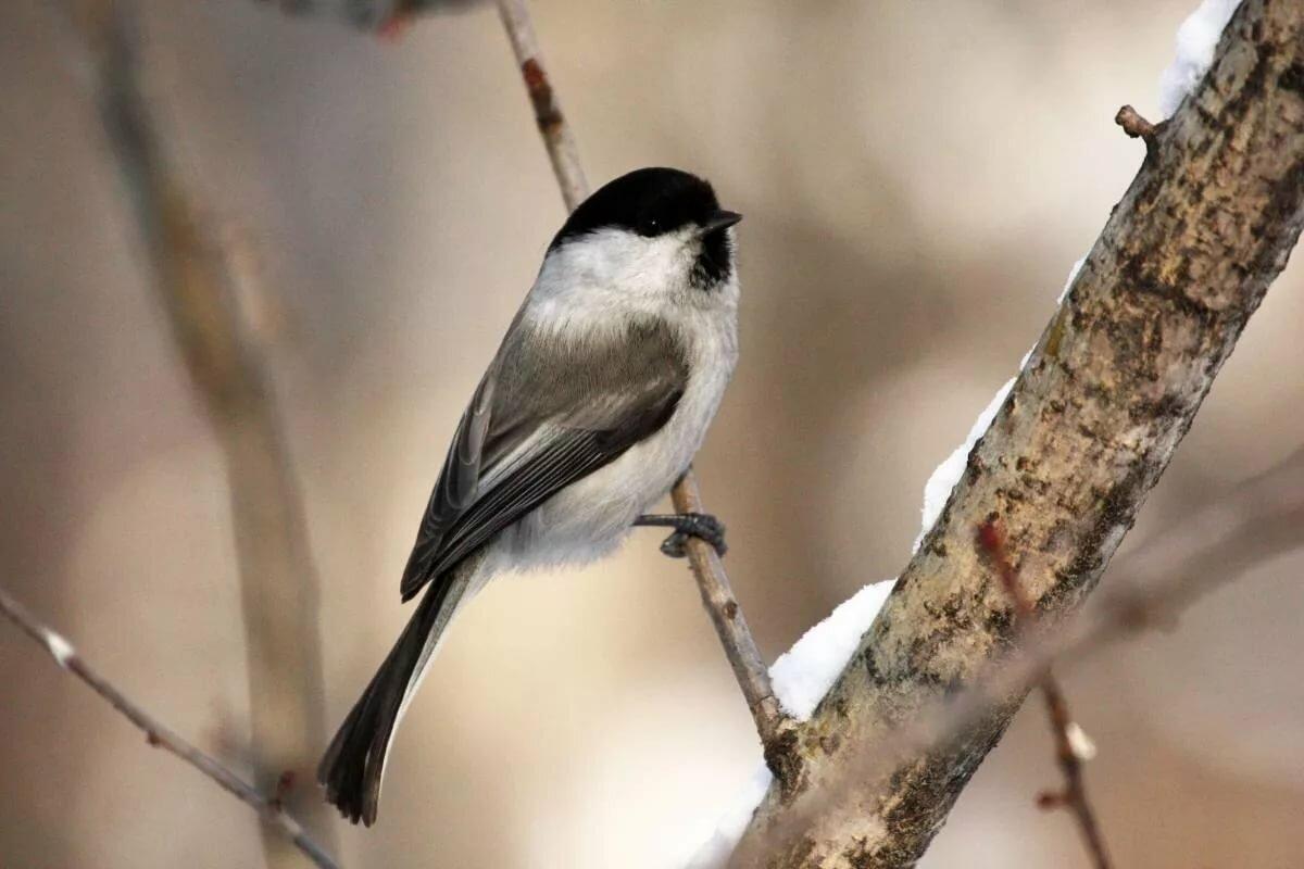 картинки воробьинообразных птиц уточняется