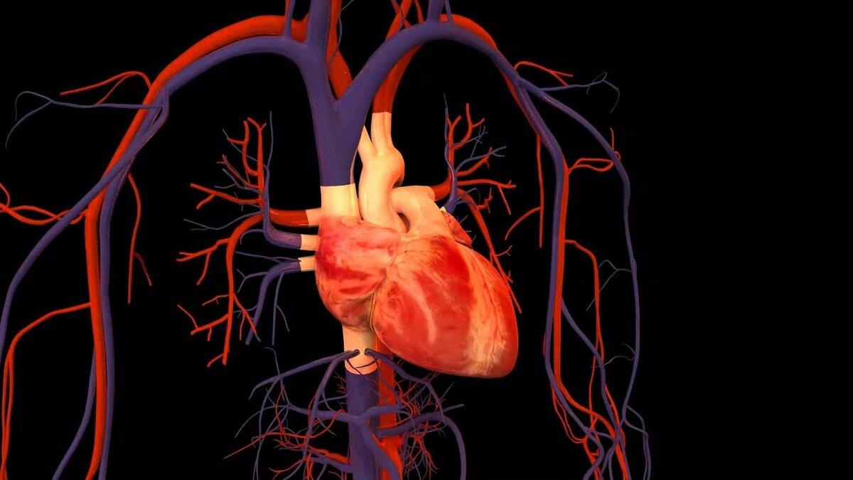 Анимация работа сердца каталог анимаций для 8 класса