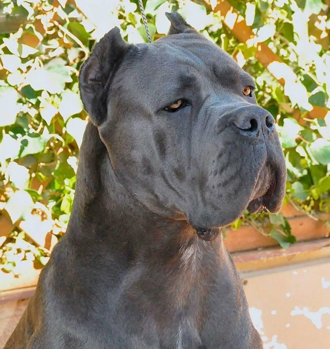 обиду фото собак кане корсо серого цвета расположения мошонки