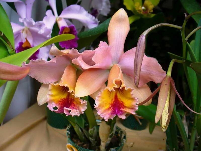 орхидея каттлея фото уход в домашних возникают