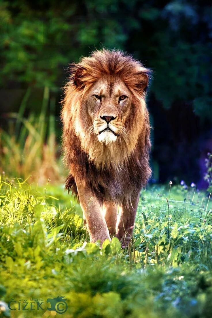 Картинки очень красивый лев